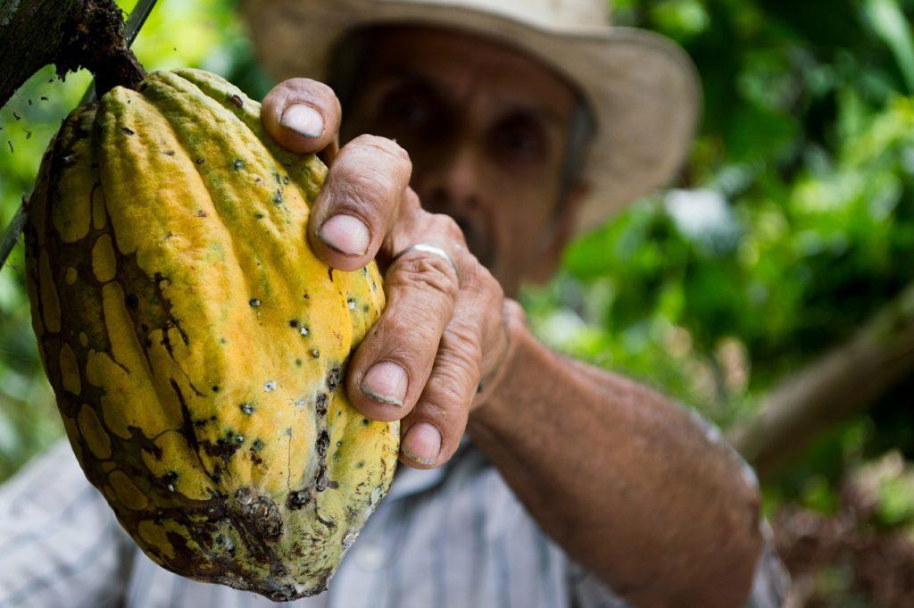 Cacao. Imagen de Elias Shariff Falla Mardini en Pixabay