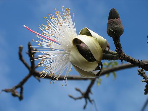 Árbol de coquito. De Maria do Carmo M. Iannacone - https://www.flickr.com/photos/mariasg/153790892/, CC BY 3.0, https://commons.wikimedia.org/w/index.php?curid=5278327
