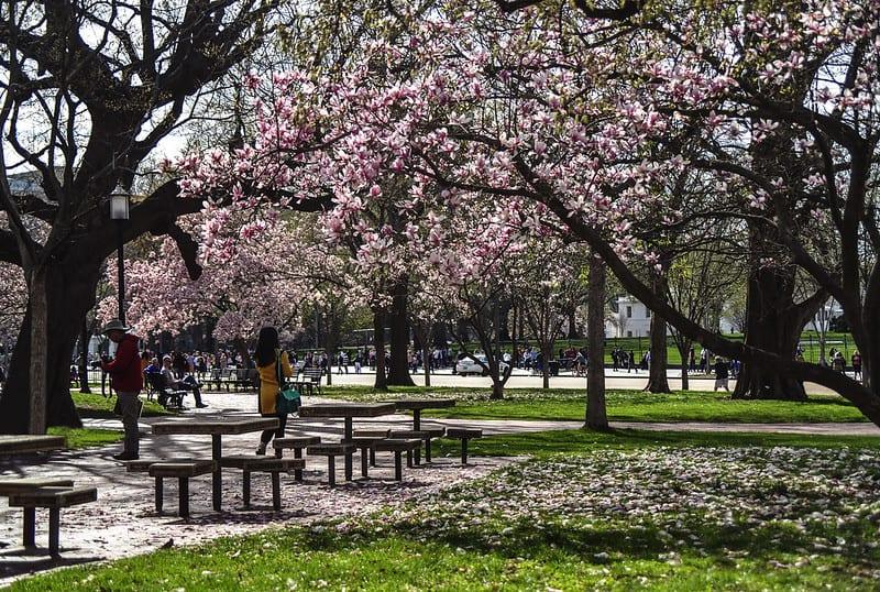 Cerezos en Washington. Imagen de María Renée Batlle Castillo vía Flickr