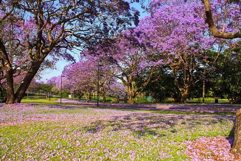 Jacarandas. Imagen de Chris McGaw vía Flickr