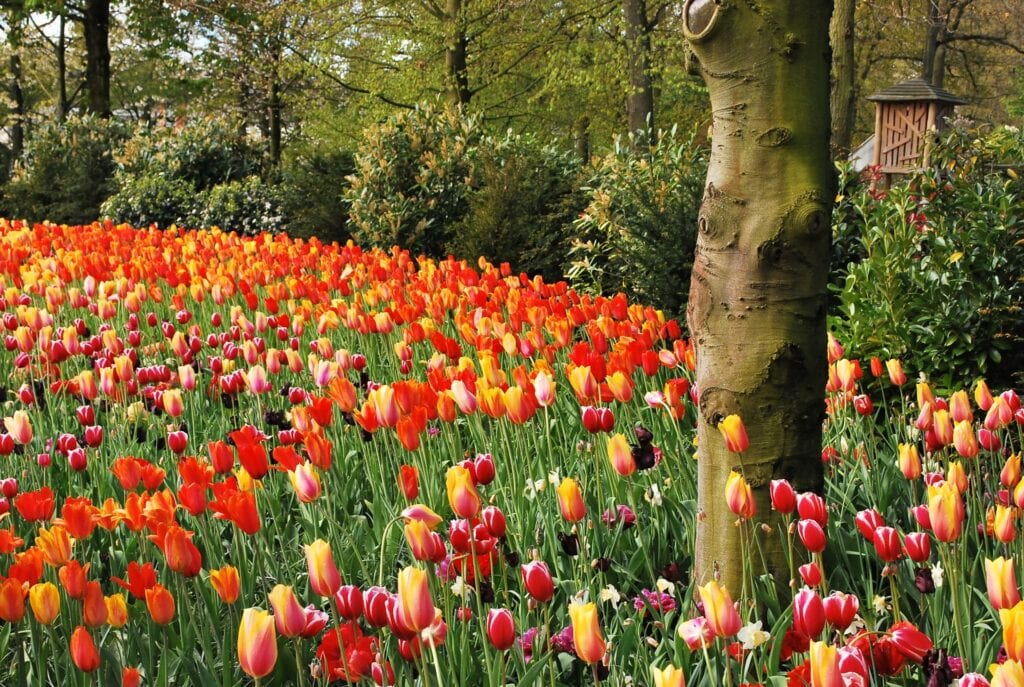 El parque floral más bello del mundo.  Boudewijn Huysmans en Unsplash