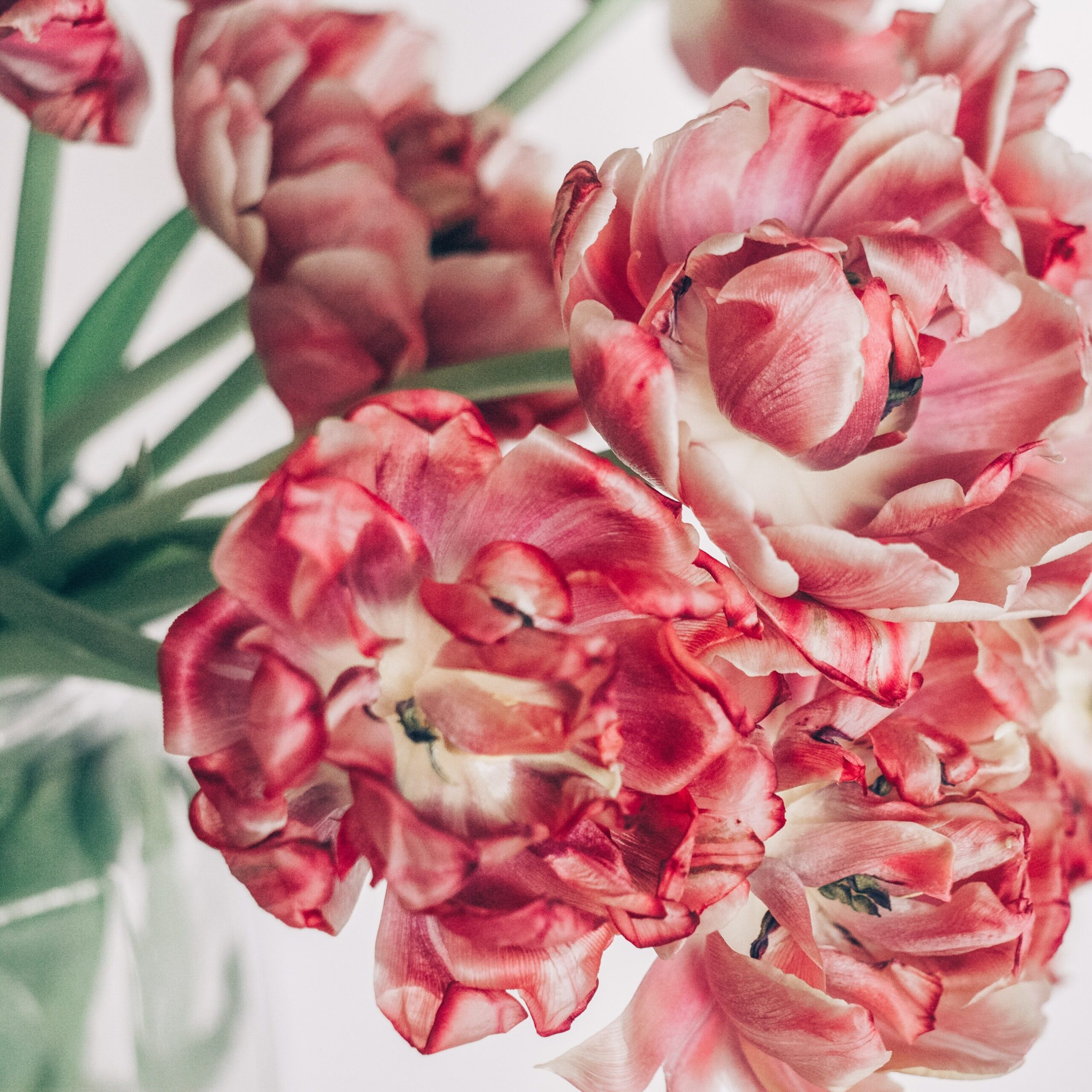 Tulipan doble. Imagen de Dina Nasyrova en Pexels
