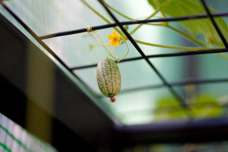 Cultivo de cucamelon. Imagen de poppet with a camera vía Flickr